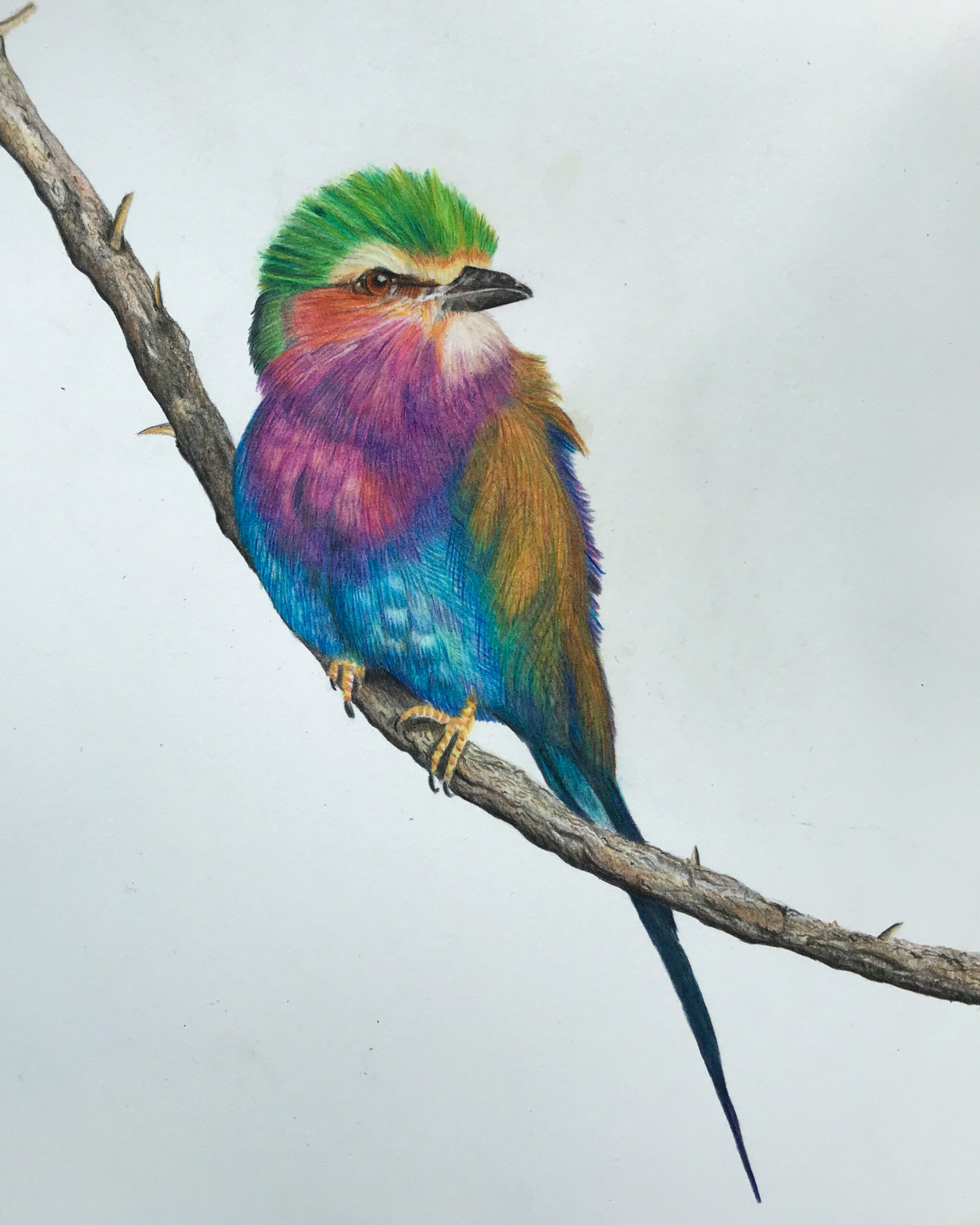 SOLD- Lilac breasted roller 24x30 Pencils